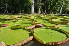 Amazonica Виктории стоковая фотография rf