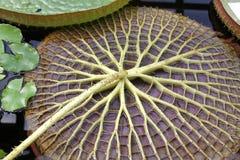 Amazonica de Victoria photographie stock