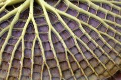Amazonica della Victoria immagine stock
