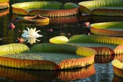 amazonica victoria Royaltyfri Fotografi