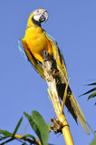 Amazonischer Blau-und-gelber Keilschwanzsittich Lizenzfreies Stockbild