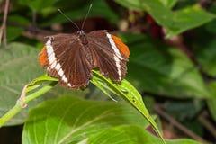Amazonischer Schmetterling lizenzfreie stockbilder