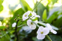 Amazonka jest białym kwiatem z round płatkami obrazy stock