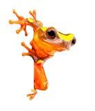 Amazonka lasu tropikalnego drzewna żaba na bielu Obraz Stock
