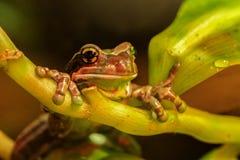 Amazonki żaby Trachycephalus Dojny resinifictrix obraz royalty free