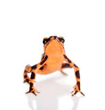 Amazonki Arlekińska żaba, Atelopus spumarius na bielu, Fotografia Stock
