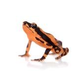Amazonki Arlekińska żaba, Atelopus spumarius na bielu, Zdjęcia Stock