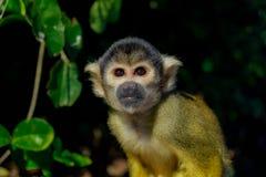 Amazonki Capuchin małpa zdjęcia stock