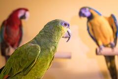 Amazonki papuzi ptasi przyglądający z powrotem przy arami w tle fotografia stock