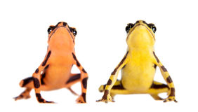 Amazons Harlequin Frog, Atelopus spumarius, on white. Amazons Harlequin Frog, Atelopus spumarius, on the white background Royalty Free Stock Images