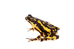 Amazons Harlequin Frog, Atelopus spumarius, on white. Amazons Harlequin Frog, Atelopus spumarius, on the white background Royalty Free Stock Photos