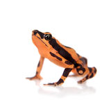 Amazons Harlequin Frog, Atelopus spumarius, on white. Amazons Harlequin Frog, Atelopus spumarius, on the white background Stock Photos