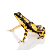 Amazons Harlequin Frog, Atelopus spumarius, on white. Amazons Harlequin Frog, Atelopus spumarius, on the white background Royalty Free Stock Photo