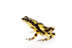 Amazons Harlequin Frog, Atelopus spumarius, on white Royalty Free Stock Photos