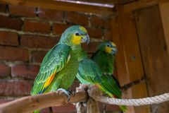 Amazzoniano arancio-alato ha chiamato Honza fotografia stock libera da diritti