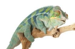 ambanja变色蜥蜴豹 免版税库存照片