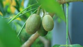 Ambarella Fruit Royalty Free Stock Photo