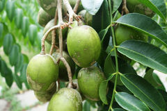 Ambarella fruits on the tree Royalty Free Stock Photos