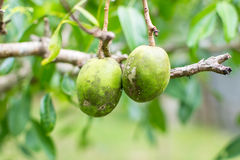 Ambarella frukt Arkivfoton