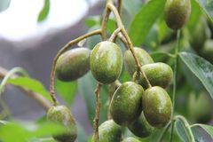 Ambarellafruit dat groeit in de werf van het bureau met een verse zoete zure smaak stock afbeeldingen