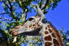 Ambasciatore Adolescent della giraffa: Camelopardalis del Giraffa fotografia stock