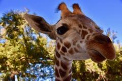 Ambasciatore della giraffa: Camelopardalis del Giraffa immagini stock libere da diritti