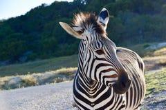 Ambasciatore della zebra: Profilo grazioso della zebra del ` s di Hartman a Rim Wildlife Center fossile in Glen Rose, il Texas fotografia stock libera da diritti