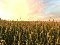 Amber barley field. At sunset. In the open field, in wide expanse Stock Photography
