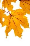 Amber bladeren Royalty-vrije Stock Afbeeldingen