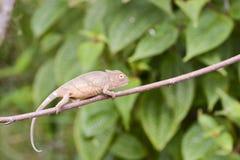 Amber Chameleon - Madagascar Endemic Reptile Royalty Free Stock Photography