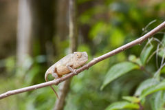Amber Chameleon - Madagascar Endemic Reptile. Amber Chameleon - Rare Madagascar Endemic Reptile royalty free stock photo