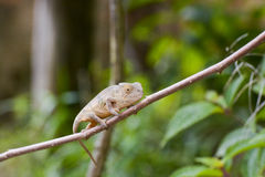 Amber Chameleon - Madagascar Endemic Reptile Royalty Free Stock Photos