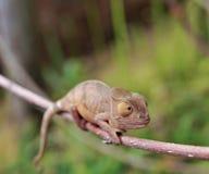 Amber Chameleon - Madagascar Endemic Reptile Stock Photo