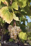 Amber Cluster Vine Autumn Harvest dorata fotografia stock libera da diritti