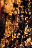 Amber colored sap drips from an open pine tree. In the sierra nevada stock images