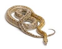 Amber Corn Snake, Pantherophis guttatus Stock Photography