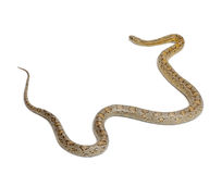 Amber Corn Snake, Pantherophis guttatus Stock Images