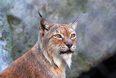 Amber eyes, the Lynx. Beautiful animal with beautiful eyes, simply cat, a miracle with brushes on ears, but is better not to touch it Royalty Free Stock Photography