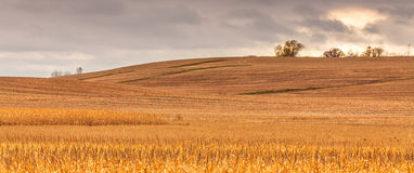 Amber Field. A grain field waiting for harvest Royalty Free Stock Photography