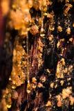 Amber gekleurde sapdruppels van een open pijnboomboom stock afbeeldingen