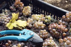 Amber Grapes Crate Secateurs Rkatsiteli Fotos de archivo