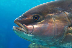 Amber-jack fish Royalty Free Stock Photography