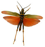 Amber Locust Arkivfoton