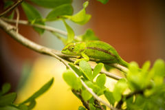 Amber Mountain chameleon, Calumma ambrensis is endemic chameleon, Amber mountain, Madagascar Stock Photography