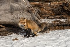 Amber Phase Red Fox Vulpes vulpes Defecates Near Log Winter stock photos
