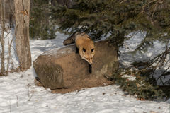 Amber Phase Red Fox Vulpes vulpes Jumps Off Rock Royalty Free Stock Photo