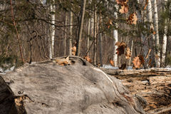 Amber Phase Red Fox Vulpes vulpes Peers Over Log Stock Photography