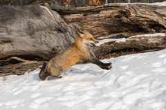 Amber Phase Red Fox Vulpes vulpes Runs Right Paws Up Ears Back Winter royalty free stock image