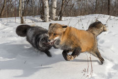 Amber Phase Red Fox Vulpes vulpes Runs With Silver Fox. Captive animals Stock Photos