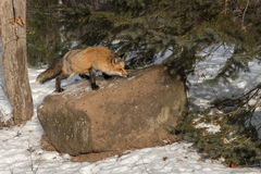 Amber Phase Red Fox Vulpes vulpes Sniffs Atop Rock Royalty Free Stock Images